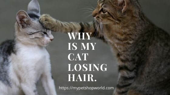 Hairloss in cats a common disease