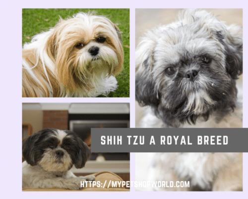 Shih Tzu dog a great companion