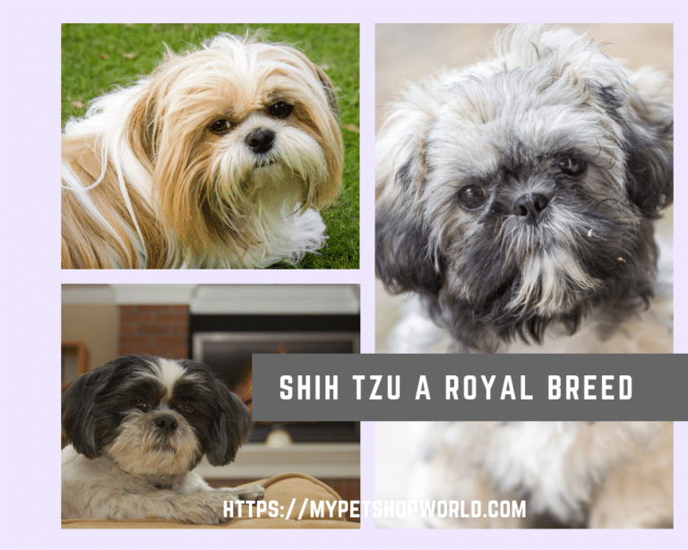 Shih Tzu dog a great companion