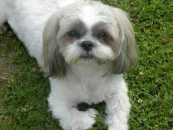 Shih Tzu dogs for Celebrities