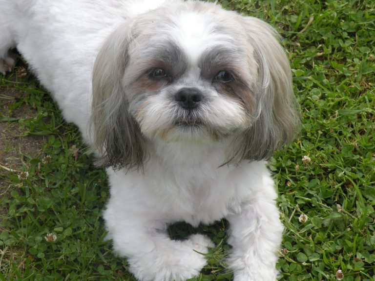 Shih Tzu dogs for Celebrities