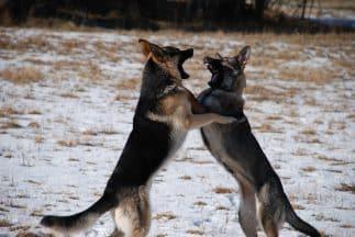 dog fighting
