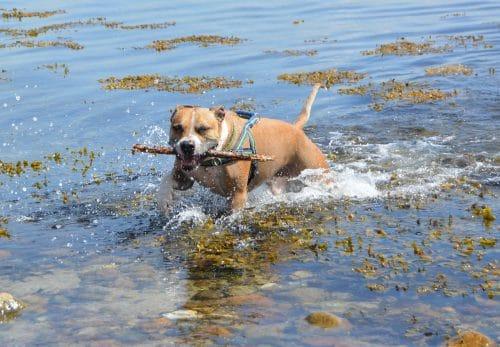american pitbull a good family dog
