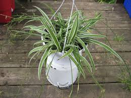spiderplant a plant cats like to eat