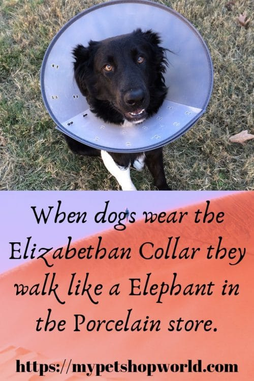 Elizabethan Collar for dogs
